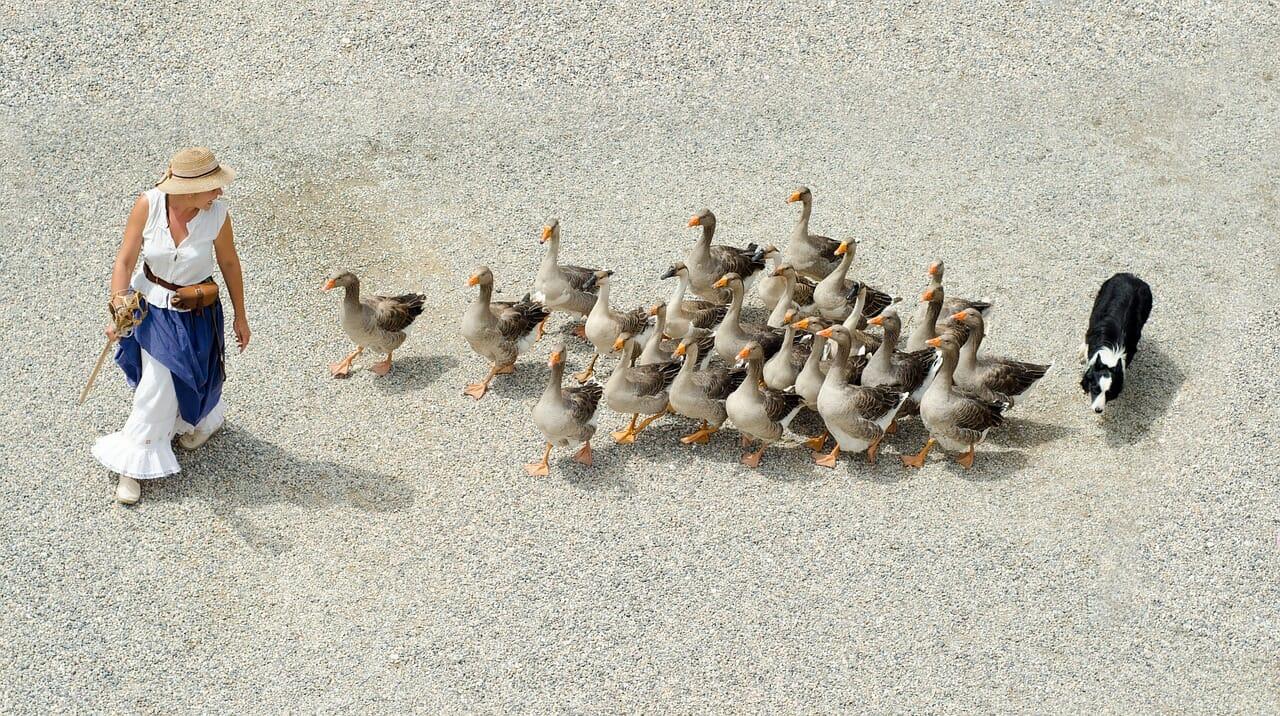 goose followers